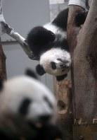 Giant panda cub Xiang Xiang, top, plays in a hammock given to her as a