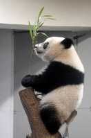 Giant panda cub Xiang Xiang holds bamboo grass while clinging to a tree branch, at Ueno Zoological Gardens in Tokyo's Taito Ward, on June 11, 2018. (Mainichi)