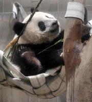 Giant panda cub Xiang Xiang plays in a hammock given to her as a