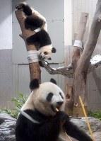 Giant panda cub Xiang Xiang, top, plays next to a hammock given to her as a