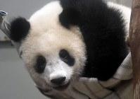 「誕生日プレゼント」として新たに設置されたハンモックで遊ぶシャンシャン=東京都台東区の上野動物園で2018年6月11日午前10時、藤井達也撮影