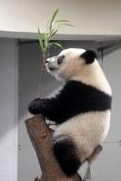 木の上で笹を持つシャンシャン=東京都台東区の上野動物園で2018年6月11日午前10時5分、藤井達也撮影