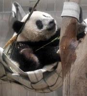 「誕生日プレゼント」として新たに設置されたハンモックで遊ぶシャンシャン=東京都台東区の上野動物園で2018年6月11日午前9時54分、藤井達也撮影