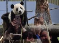大勢の人たちが見る中、遊ぶ1歳の誕生日を迎えたジャイアントパンダの「シャンシャン」=東京都台東区の上野動物園で2018年6月12日午前9時36分、宮間俊樹撮影