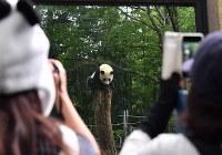 1歳の誕生日を迎えたジャイアントパンダの「シャンシャン」=東京都台東区の上野動物園で2018年6月12日午前9時39分、宮間俊樹撮影