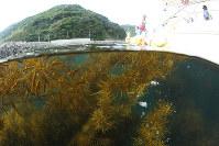 海中に生い茂るアカモクを刈り取る漁師ら=和歌山県由良町で、山本芳博撮影