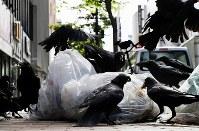 ビル内の店舗から収集直前に出されたゴミ袋の山。清掃員がシートで覆うまでの少しの時間を狙ってカラスが集まる=札幌市中央区で2018年6月15日早朝、貝塚太一撮影