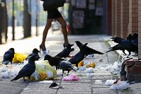 ススキノ周辺のマンションでゴミステーションからあふれ出たゴミ袋を引っ張り出してあさるカラス=札幌市中央区で2018年5月15日早朝、貝塚太一撮影
