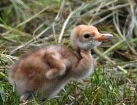 すくすくと育つ釧路市丹頂鶴自然公園のタンチョウのヒナ=北海道釧路市で2018年6月18日、竹内幹撮影
