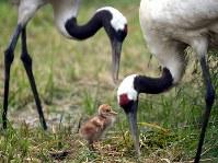 親のタンチョウに囲まれ、すくすくと育つヒナ=北海道釧路市の釧路市丹頂鶴自然公園で2018年6月18日、竹内幹撮影