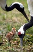A Japanese crane chick is seen with its parents at Kushiro Japanese Crane Reserve in Kushiro, Hokkaido, on June 18, 2018. (Mainichi)