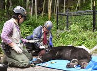 捕獲された成獣のツキノワグマ=鳥取市国府町で、阿部絢美撮影