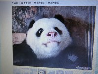 The giant panda Weiwei is seen after his nose turned white, in this image from Chinese micro-blogging service Weibo. (Mainichi)