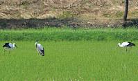 3羽の幼鳥。左が新たに巣立った幼鳥=島根県雲南市で、同市教委提供