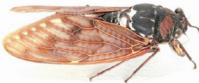 9 - 【菌類】セミに共生菌、栄養補う 「冬虫夏草」由来、薬にも つくばの産総研、米科学誌に発表 /茨城[06/24]