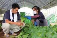収穫した小松菜の品質を確認する田中健二さん(左)とベトナム人実習生=千葉県富里市で
