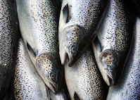 In this Oct. 12, 2008, file photo, farm-raised Atlantic salmon move across a conveyor belt as they are brought aboard a harvesting boat near Eastport, Maine. (AP Photo/Robert F. Bukaty)