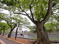 福井城跡南側の堀端。福井地震で地割れの走った道路には桜が植えられた=福井市大手2で2018年6月11日、山田尚弘撮影
