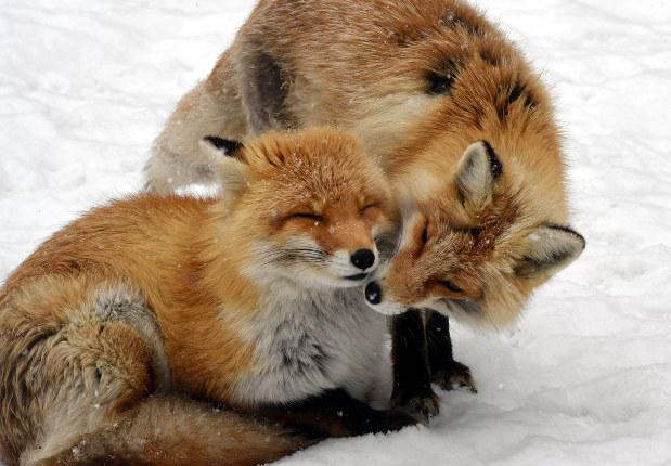 キタキツネの愛らしい姿は観光客にも人気だが、エキノコックス感染の危険も=北海道北見市で竹内幹撮影