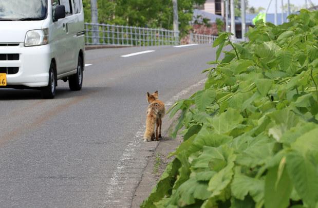 車道を歩くキタキツネ。人里近くでも見かけることがある=北海道ニセコ町で梅村直承撮