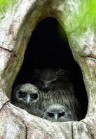 今春産まれたシマフクロウのヒナ2羽と母親(奥)=旭川市旭山動物園提供
