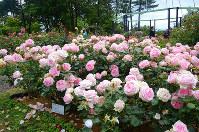 「ローズガーデン」に咲く多彩なバラ=富山県氷見市稲積で、鶴見泰寿撮影