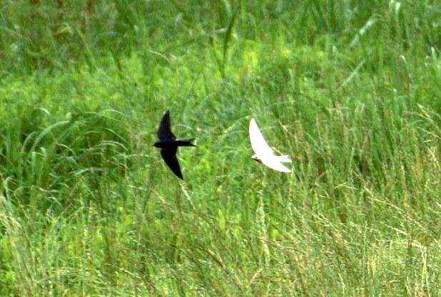 黒いツバメ(左)と並んで利根川河川敷を飛ぶ白いツバメ=群馬県太田市前小屋町で、日報連太田支部・矢野文夫さん撮影