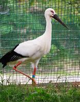 「あかね」と名付けられたメスのコウノトリ=兵庫県豊岡市の県立コウノトリの郷公園提供