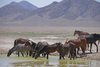 In this June 29, 2018 photo, wild horses drink from a watering hole outside Salt Lake City. (AP Photo/Rick Bowmer)