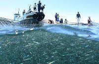 定置網の網を巻き上げ、水面に集まった魚を見る子どもたち=和歌山県由良町で、山本芳博撮影