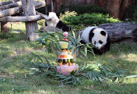 France's first baby panda Yuan Meng celebrates his first birthday with a birthday cake composed of bamboo, honey, apples, oranges, strawberries and lemons, at the ZooParc de Beauval in Beauval, central France, Saturday Aug. 4, 2018. (ZooParc de Beauval via AP)