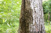 洞に巣を作ったニホンミツバチの集団=アファンの森財団提供