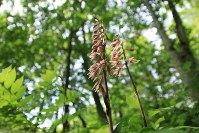 An orchid belonging to the genus Cremastra is seen in bloom. (Photo courtesy of the C.W. Nicol Afan Woodland Trust)