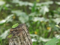 A forest green tree frog is seen perched on a chopped tree trunk. (Photo courtesy of the C.W. Nicol Afan Woodland Trust)