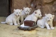 Four rare African white lion cubs sit in their enclosure at the zoo in Magdeburg, Germany, on Aug. 17, 2018. (AP Photo/Jens Meyer)