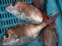 Recently caught red sea bream is seen in this May 21, 2007 file photo. (Mainichi)