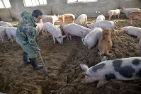 In this Dec. 19, 2014 photo, a worker digs in a fermentation bed at an organic pig farm in Handan, in northern China's Hebei province. (Chinatopix via AP)
