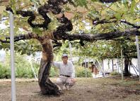 2006年の撮影当時、樹齢88年だったキャンベルの古木。今年樹齢100年を迎え、「あと10年は生かしたい」と川口さんは話す=広島県竹原市で津武欣也撮影