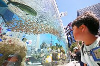 A boy looks at the fish in a large tank set up in Ginza Sony Park, in Tokyo's Chuo Ward, on Aug. 25, 2018. (Mainichi)