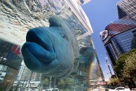 A napoleon fish swims peacefully in a large fish tank set up among the buildings of the Ginza district, in Ginza Sony Park in Tokyo's Chuo Ward, on Aug. 25, 2018. (Mainichi)