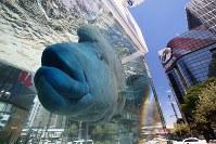 銀座の街を悠々と泳ぐナポレオンフィッシュ=東京都中央区の銀座ソニーパークで2018年8月25日、玉城達郎撮影