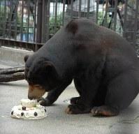 特製のバースデーケーキを食べる徳山動物園のマレーグマ「ツヨシ」=周南市徳山の同園で2011年8月24日、遠藤雅彦撮影