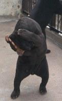 「悩みのポーズ」をするオスのマレーグマ「ツヨシ」=山口県周南市徳山動物園で2005年10月10日、鈴木美穂撮影