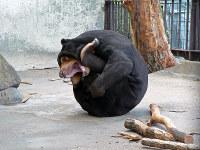 「真っ黒ボール」のポーズをするツヨシ=徳山動物園提供