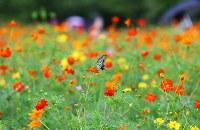 見ごろを迎えたキバナコスモスの周りを飛ぶアゲハチョウ=東京都中央区で2018年8月23日、玉城達郎撮影