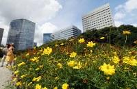 見ごろを迎えたキバナコスモス=東京都中央区の浜離宮恩賜庭園で2018年8月23日、玉城達郎撮影
