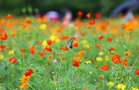A swallowtail butterfly flies around a surf cosmos flower in full bloom at Hamarikyu Gardens in Tokyo's Chuo Ward, on Aug. 23, 2018. (Mainichi)