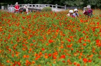 Surf cosmos in full bloom are seen at Hamarikyu Gardens in Tokyo's Chuo Ward, on Aug. 23, 2018. (Mainichi)