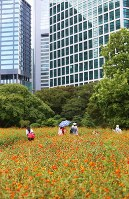 Surf cosmos in full bloom are seen at Hamarikyu Gardens surrounded by skyscrapers in Tokyo's Chuo Ward, on Aug. 23, 2018. (Mainichi)