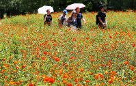 Visitors walk around surf cosmos in full bloom at Hamarikyu Gardens in Tokyo's Chuo Ward, on Aug. 23, 2018. (Mainichi)